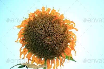 Yellow sunflower on plant