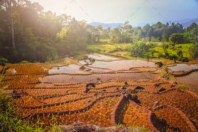 Indonesian ricefield terraces