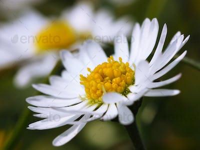 Chamomile close-up. White daisy flowers