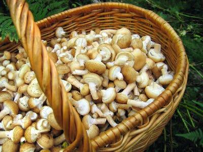 eatable mushrooms in the big basket