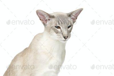 Beautiful oriental siam cat