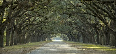 Avenue of oaks in American South