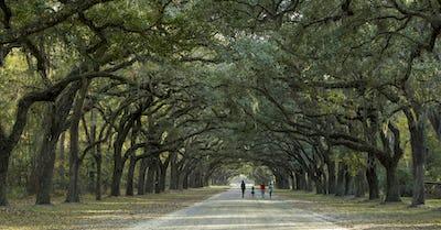 Walking under canopy of live oaks
