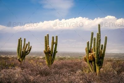 Three cactuses in pampa