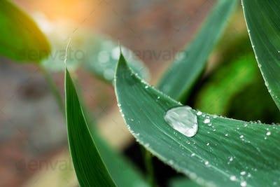 Water drops on leaves in rainy season