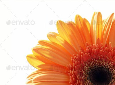 fragment of gerber daisy flower