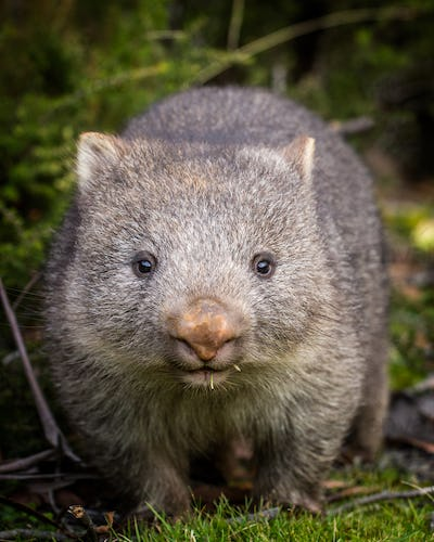 baby bare nosed wombat