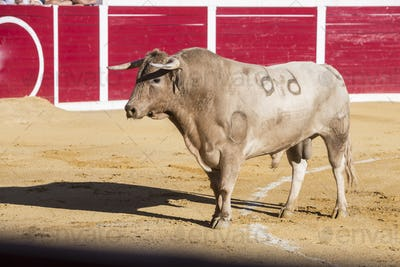 Capture of the figure of a brave bull in a bullfight, Sabiote, Spain