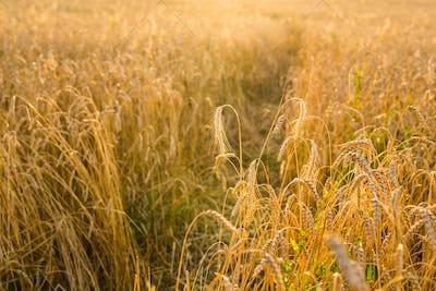 Oat Field in sunlight