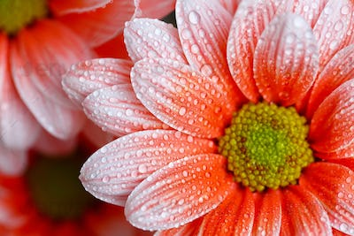beautiful orange daisy in the morning dew