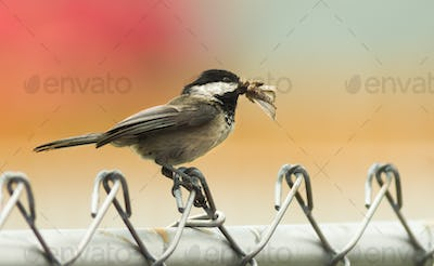 Black-capped Chickadee Bird Perched Fence Moth in Mouth