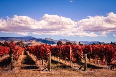 Autumn colorful vineyards in Marlborough wine country, NZ