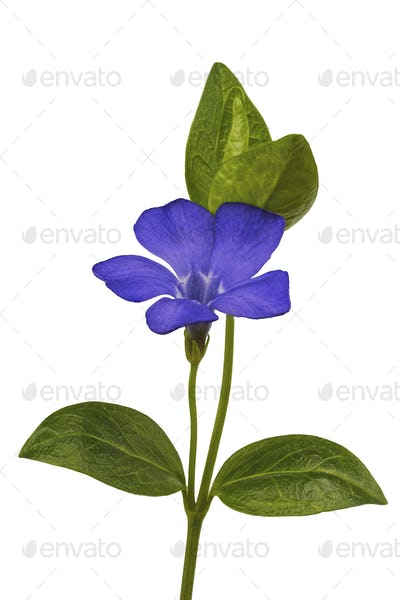 Periwinkle (Vincia) on a white background
