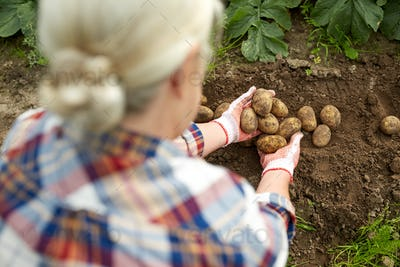 farmer with potatoes at farm garden