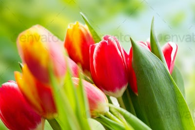 close up of tulip flowers