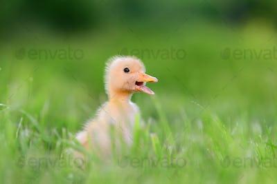 Little duckling on green grass