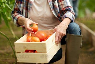 senior woman picking tomatoes at farm greenhouse