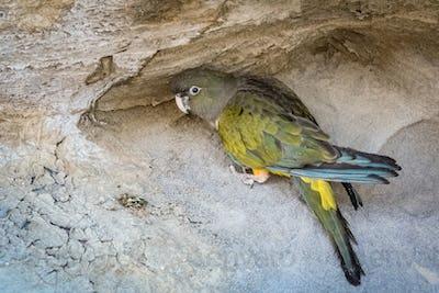 GreenPatagonian Parrot