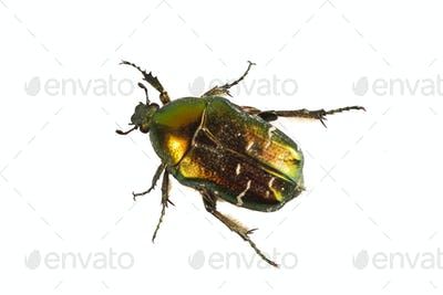 Rose chafer (Cetonia aurata) on a white background