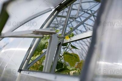 cucumber seedlings growing at greenhouse