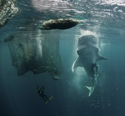 Vertical Feeding Whale Shark