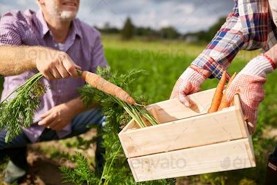 senior couple with box picking carrots on farm