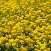 Flowers of barbarea vulgaris