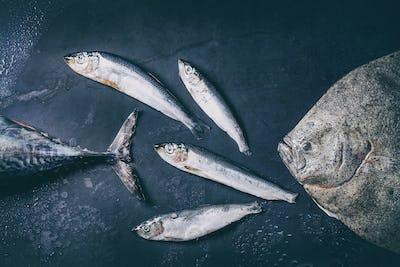 Raw fresh tuna, herring and flounder fish