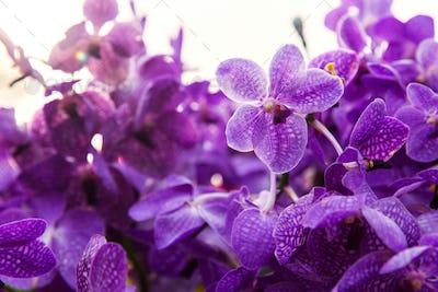 violet or purple ascocenda orchid flowers