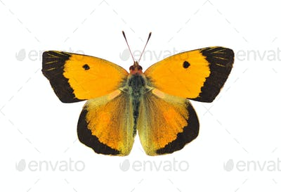 Dark clouded yellow butterfly - male, isolated on white