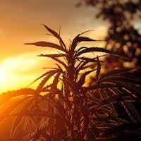 Cannabis plant at sunrise