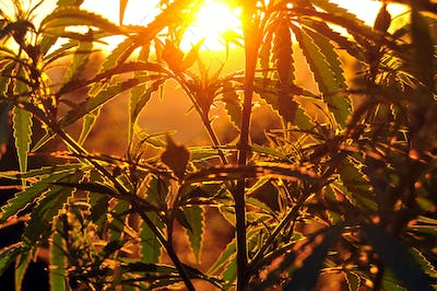 Silhouette of cannabis plant at sunrise