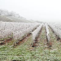 Frost covered vineyard in winter