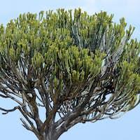 African cactus tree
