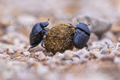 Two strong slogging dung beetles