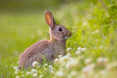 Wild European rabbit