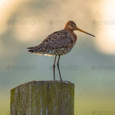 Black-tailed Godwit on post with pastel colored background