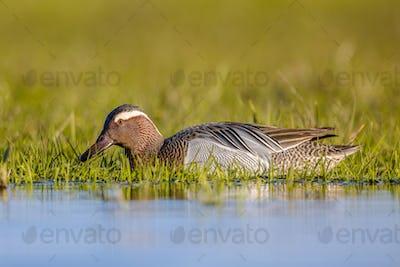 Male garganey duck foraging in wetland