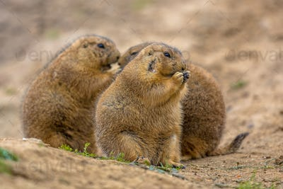 Group of Cute prairie dogs  feeding