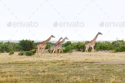 group of giraffes walking along savannah at africa