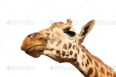 close up of giraffe head on white