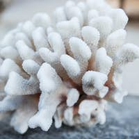 hard stony coral