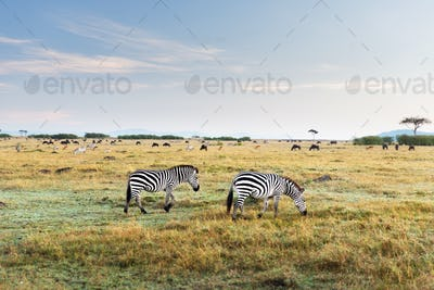 zebras and other animals in savannah at africa