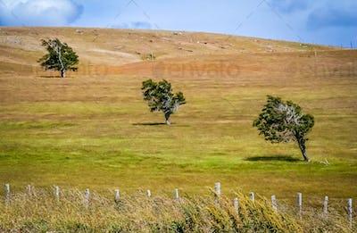 Three trees on a field