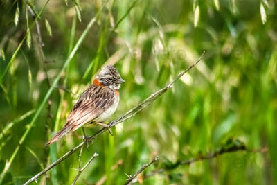 Patagonian bird sitting on a twig