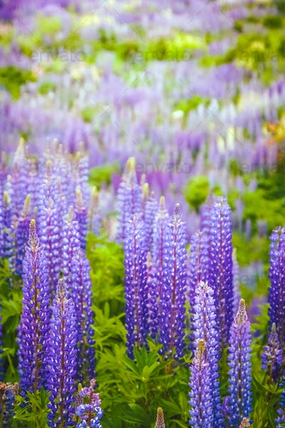 Lupin Field in Patagonia