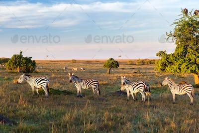 zebras herd grazing in savannah at africa