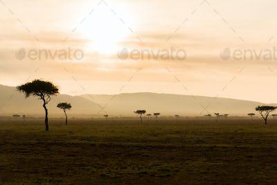 acacia trees in savannah at africa