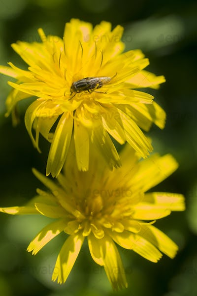 Dandelion flowers with fly