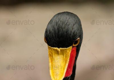 Saddle-billed stork(Ephippiorhynchus senegalensis) closeup